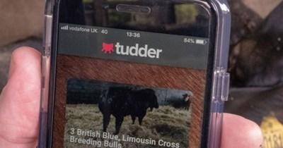 tinder cattle UK cows App - 7766021