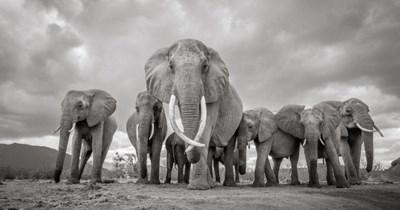 africa photography elephant stunning tusker elephants - 7986949