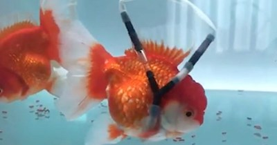 goldfish disabled wheelchair story