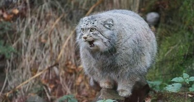 pallas cats funny angry