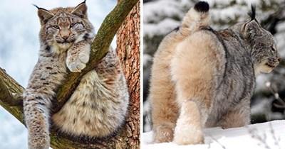 canada lynx cat floof