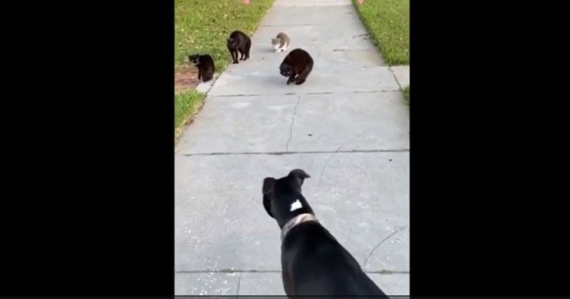 Unsuspecting Dog Faces Ominous Gang Of Cats