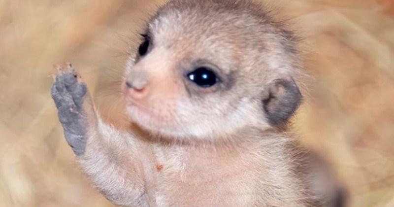 Zoo Miami Welcomes Newborn Meerkats