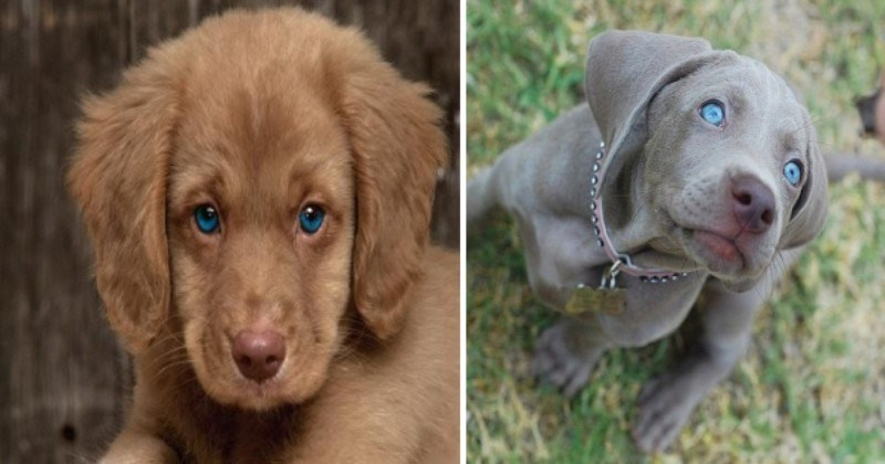 Deep As The Ocean: Dogs With Absolutely Mesmerizing Blue Eyes