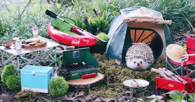Azuki, The Japanese Hedgehog, Goes on a Camping Trip And Enjoys Every Second Of It