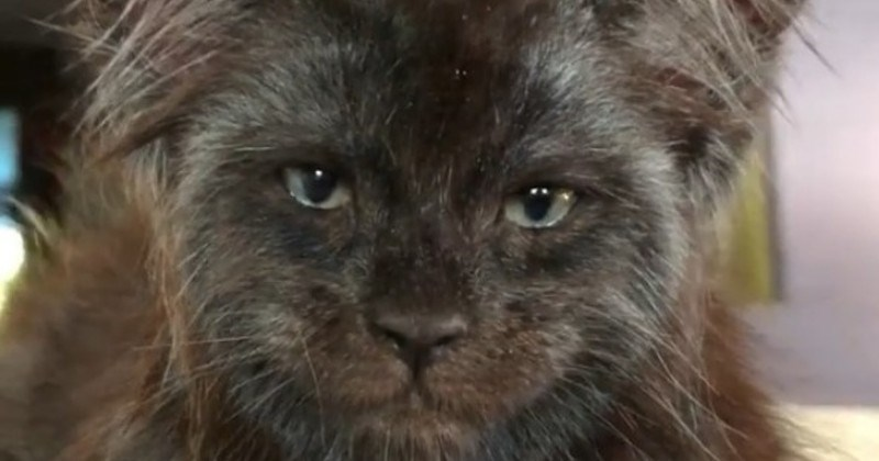 Maine Coon Breeder Whose Cats Strongly Resemble Human-Like Expressions