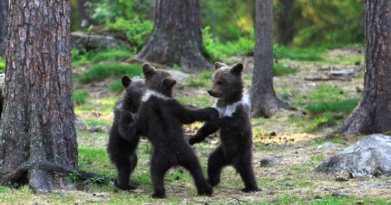 Finland Photographer Captures Bear Cubs Dancing