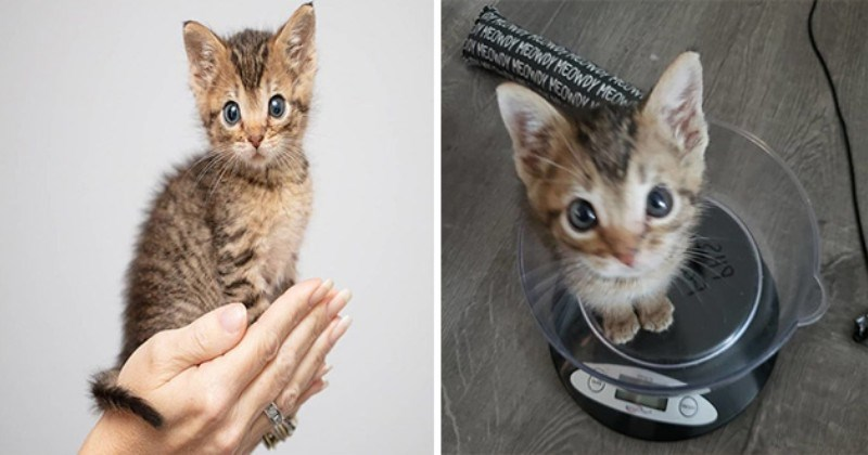 mouse kitten tiny cute aww adorable small cats adorable animals instagram | smol kitten kitty cat grey stripes and dark blue eyes being held in the palm of a person's hand, same kitten photographed from above sitting on an animal weighting scale