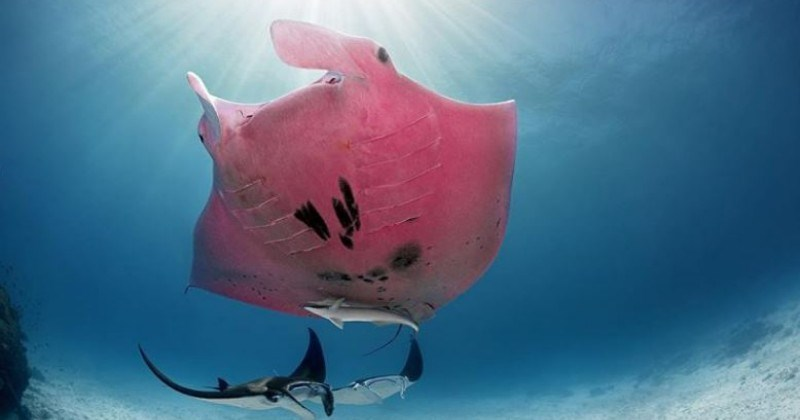 Photographer Captures Stunning Images Of The World's Only Known Pink Manta Ray
