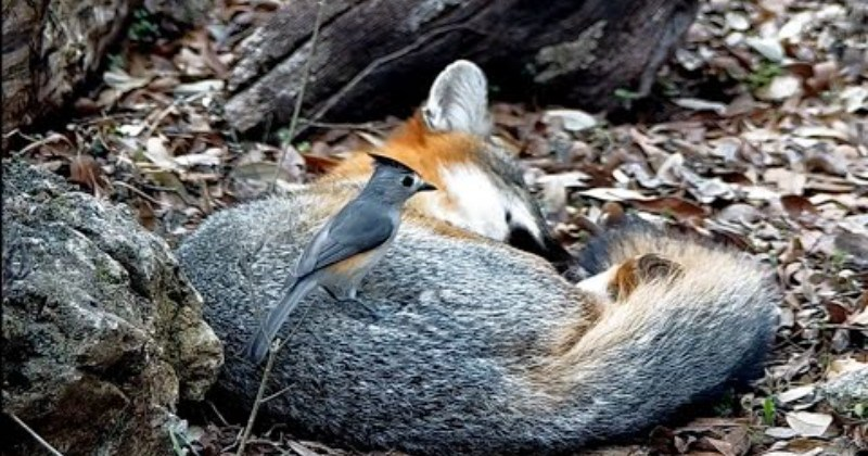 Bird Steals Nesting Material From Napping Fox