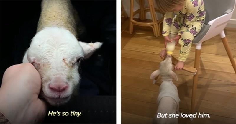 Orphaned Lamb Develops Beautiful Bond With Adoptive Family