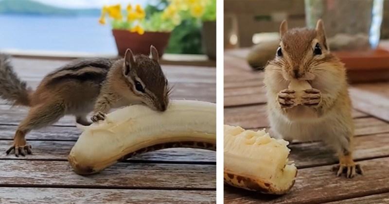 Baby Chipmunk Enjoying A Delicious Banana (Video)