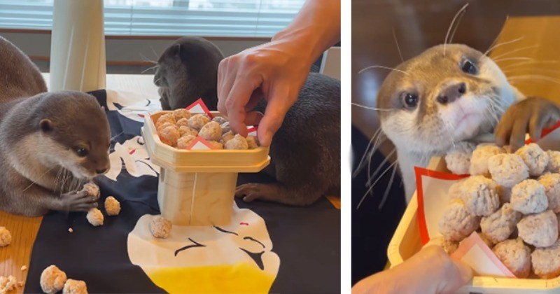 Awwdorable Otter Sibling Duo Super Excited About Chicken Meatballs (Video)