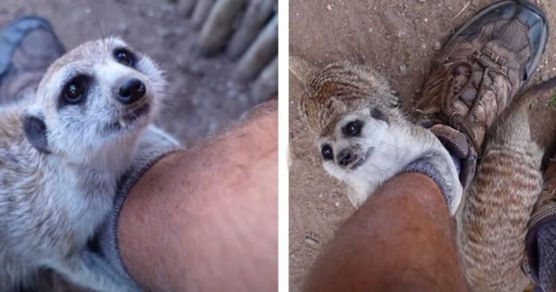 Non-Stop Meerkat Hugs And Cuddles (Video)
