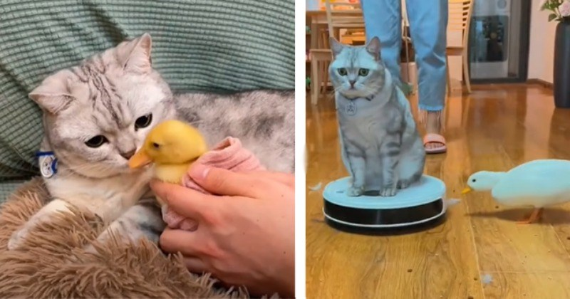 Kitten And Duck Become BFFs And Follow Each Other Around Dotingly (Video)