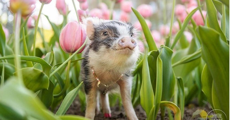 Spring Deal with: Fluffy The Therapy Pig Playing in a Field Of Pink Tulips
