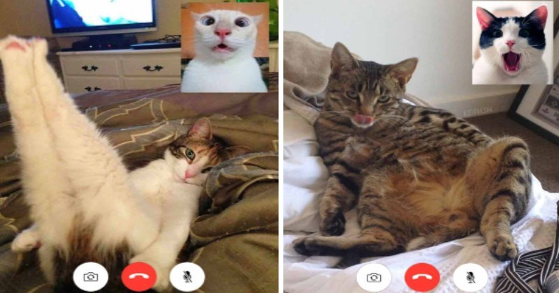 """People Photoshop """"Zoom Calls"""" Screenshots Of Cats Stunned By Other Cats In Steamy Position"""