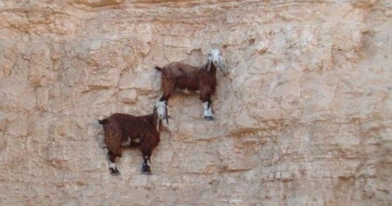 Pictures of Mountain Goats Defying Gravity
