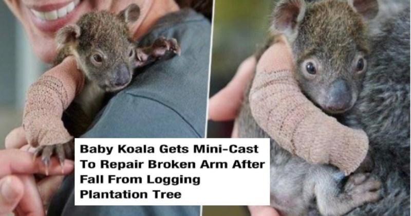 Wholesome animal memes | UNILAD Follow ANIMALS Baby Koala Gets Mini-Cast Repair Broken Arm After Fall Logging Plantation Tree By Emma Rosemurgey August 4, 2019 2 min read