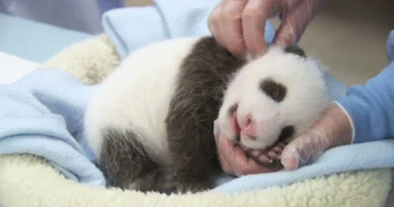 Panda Cubs Are The Cutest Animals On The Face Of This Planet (GIFs)
