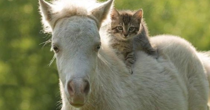 At Dawn We Ride: Photos Of Cats Riding Horses, Looking Like Real Pros
