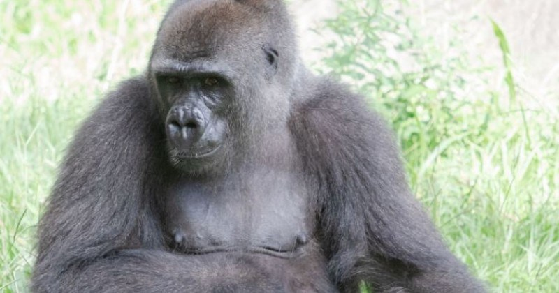 endangered gorilla expecting baby gorillas aww good news wholesome uplifting animals mom
