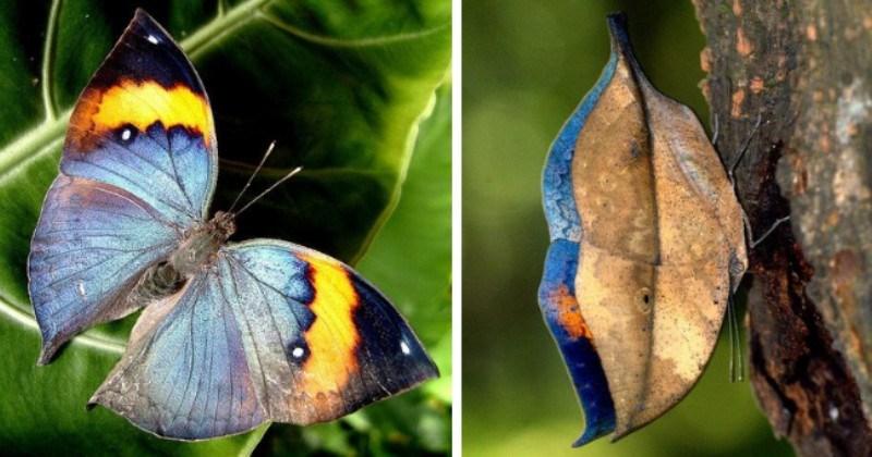Butterfly Looks Like A Dry Leaf Outside But Is Beautiful Inside