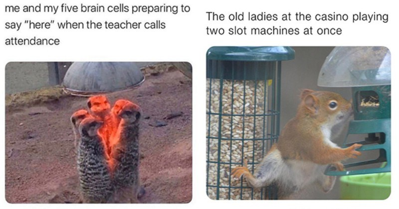 "list of funny and fresh animal memes - thumbnail includes two memes one of meercats gathered around heat lamp ""me and my five brain cells preparing to say ""here"" when the teacher calls attendance"" and one of a squirrel eating from bird feeder ""the old ladies at the casino playing two slot machines at once"""