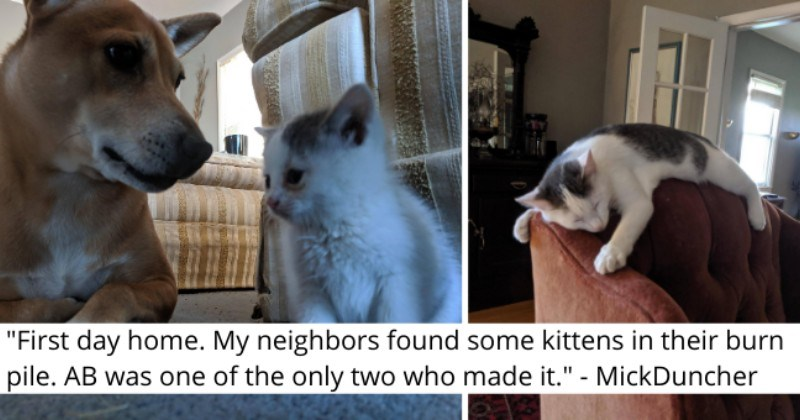 """imgur thread about a kitten who was found in a garbage pile thumbnail includes two pictures including a kitten with a dog and a kitten sleeping on the headrest of a sofa '""""First day home. My neighbors found some kittens in their burn pile. AB was one of the only two who made it."""" - MickDuncher'"""