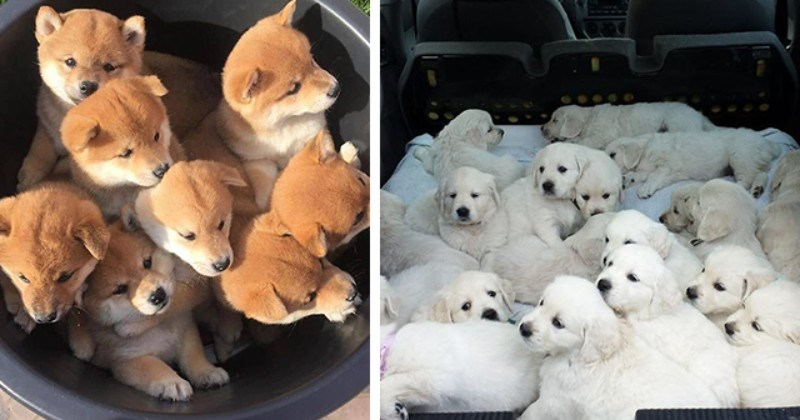 Puppy Piles Of Pure Pawfection (Pictures)
