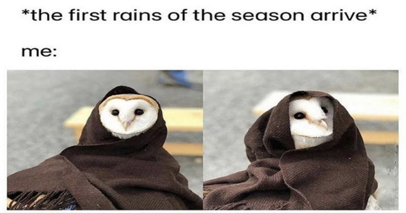 weeks best and cutest wholesome animal memes - thumbnail of cute owl with a blanket on - *the first rains of the season arrive* me: