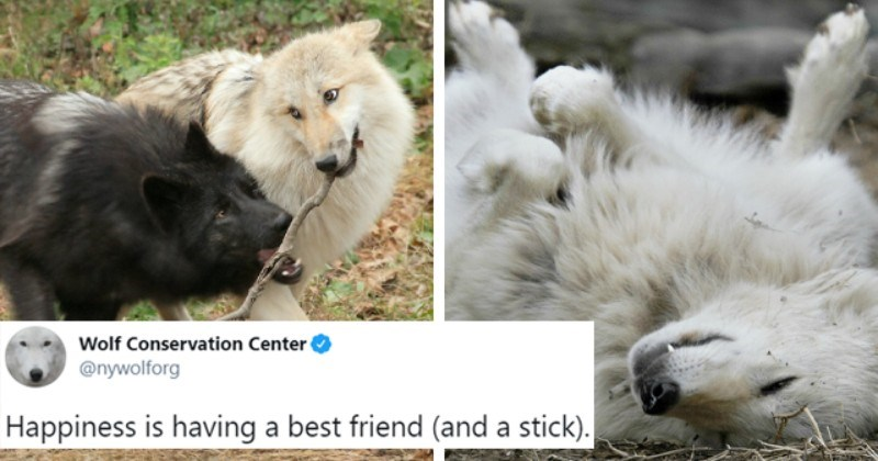 tweets about wolves from @nywolforg thumbnail includes two pictures including a white wolf on its back and another of two wolves holding a stick together 'Lion - Wolf Conservation Center @nywolforg 000 Happiness is having a best friend (and a stick). WALF 2:55 PM Jan 14, 2021 · Twitter Web App 2.2K Retweets 104 Quote Tweets 13.9K Likes'
