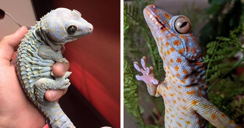 Tokay Geckos Look Like Awwdorable Mini Dinosaurs
