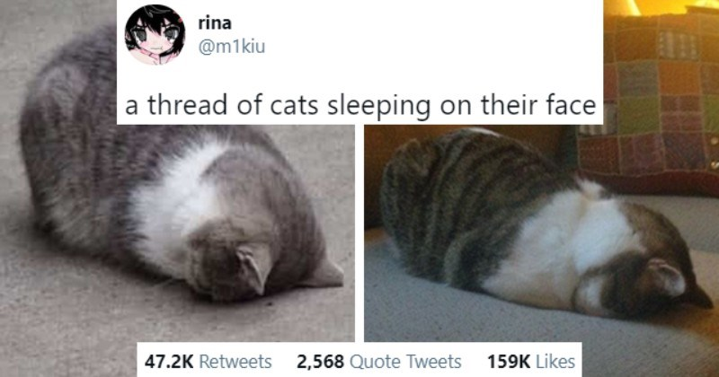 Viral Twitter Thread Of Pawdorable Cats Sleeping On Their Faces