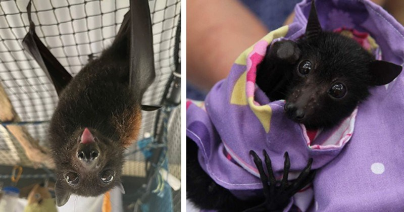 Three Months After State-Wide Rescue Mission, Orphaned Baby Bat Released