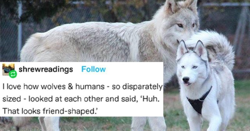 Informative Tumblr Thread About How Huge Wolves Actually Are