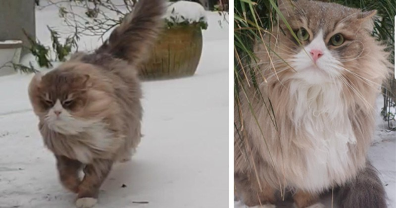 Siberian Cat Enjoying His Roots For First Time In Windy Snow