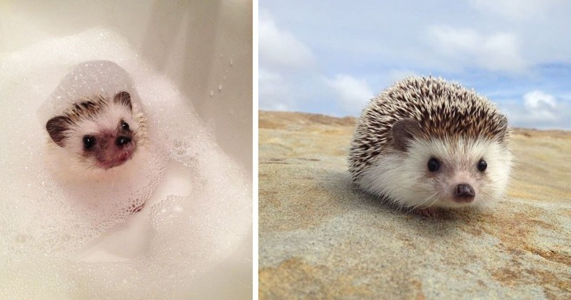 Hedgehog Appreciation Post (10 Photos)