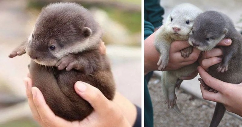 10 Adorable Pictures of Baby Otters
