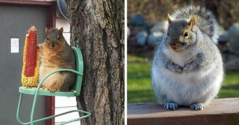 Chonky Squirrels Who Stole Too Many Nuts