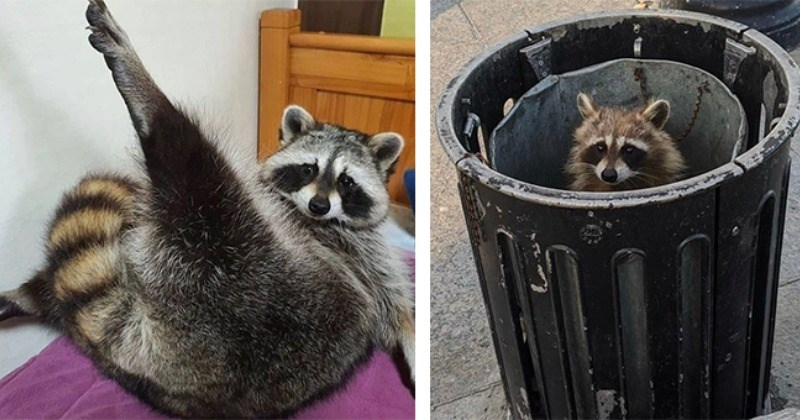 Kings And Queens Of Garbage And Our Hearts: Racoons