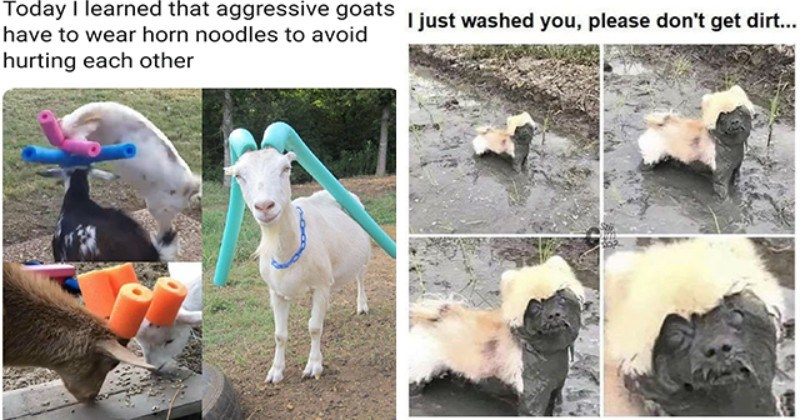 list of funny and fresh animal memes   thumbnail includes two memes including goats with noodles on their horns 'Vertebrate - Today I learned that aggressive goats have to wear horn noodles to avoid hurting each other' and a dog covered in mud 'Vertebrate - I just washed you, please don't get dirt... Sti'