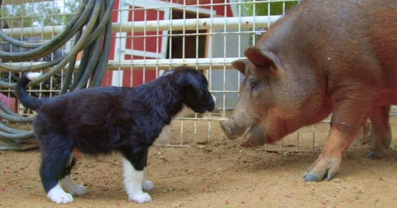 Animal Sanctuary Farm Invites Puppies For a Pawsome Playdate