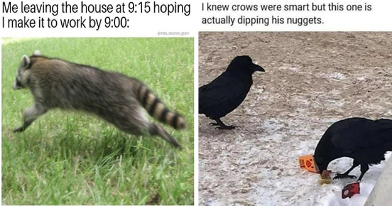 list of funny and fresh animal memes | thumbnail includes two memes including a running raccoon '' and a crow eating chicken nuggets ''