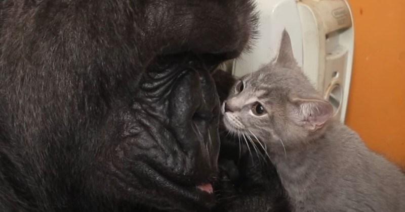Koko The Gentle Gorilla Bonds With Kitten (Video)