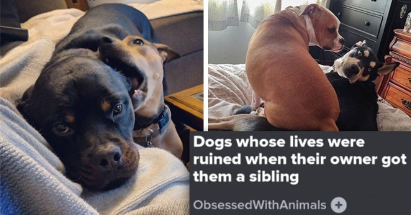 Thread: Doggos That Have Had Enough Of Their New Siblings