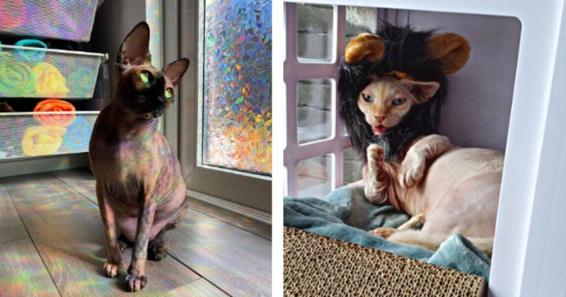 Splendid Sphynx Cats That Totally Don't Look Like Angry Old Men