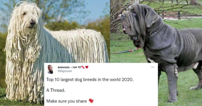 Informative Twitter Thread: The 10 Largest Dog Breeds In The World