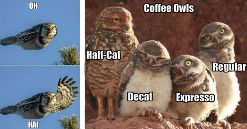 Super Silly Owl Memes For A Hoot And A Laugh