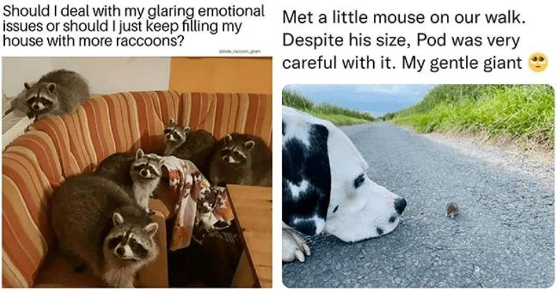 list of funny and fresh animal memes | thumbnail includes two memes including a bunch of raccoons on a couch 'Furniture - Should I deal with my glaring emotional issues or should I just keep filling my house with more raccoons? @insta_raccoon_gram' and a dog sniffing a mouse 'Dog - Met a little mouse on our walk. Despite his size, Pod was very careful with it. My gentle giant'